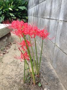 Cluster amaryllis 彼岸花